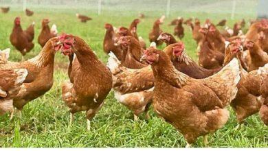 """Photo of Motta Sant'Anastasia (Ct): Trovato """"Batterio Salmonella"""" Oltre 10.000 galline dovranno essere abbattute"""