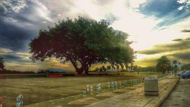 Photo of Palermo: L'albero che piange con lacrime di resina
