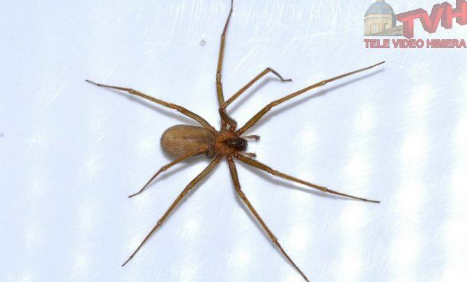 Photo of Con il caldo torna il ragno violino, cosa sapere e cosa fare in caso di morso