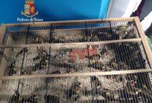 Photo of Buonfornello (Pa): Sorpresi due uccellatori con 45 cardellini stipati in macchina