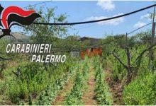 Photo of Partinico: Maxi piantagione nelle campagne, 6000 piante distrutte dai Carabinieri